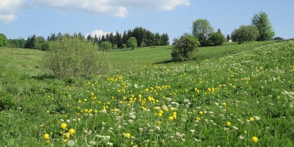 Blühende Bergwiese in Hohegeiß