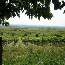 Blick über die Weinberge in die Rheinebene