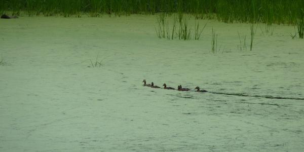 Entenfamilie auf dem Glockenteich