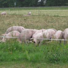 glückliche Tiere auf dem Bio-Bauernhof kurz vor Rhaunen