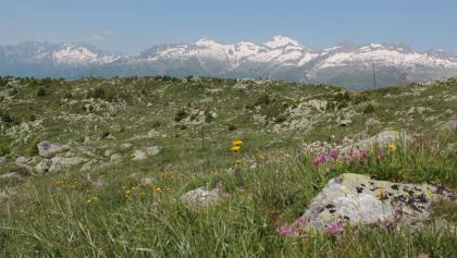 Blühende Wiese auf der Alp Soliva