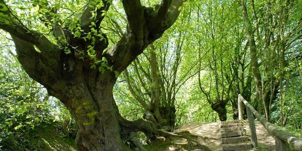 Kopfbuchen Aachener Wald