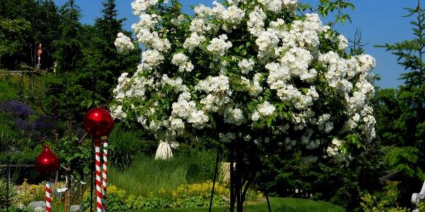 wunderschöne Rosen in Telfes
