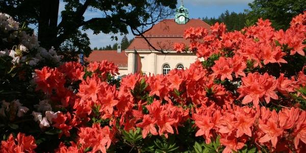 Rhododendronblüte vor Albert Bad