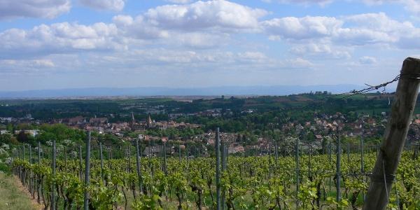 Oberhalb Wissembourgs wachsen geographisch geschützte Weine wie der Crémant d'Alsace.