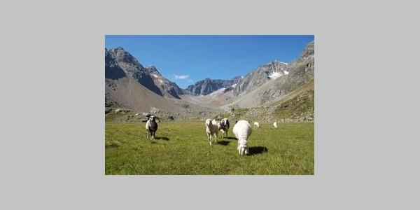 Schafe nähe Neue Regensburger Hütte