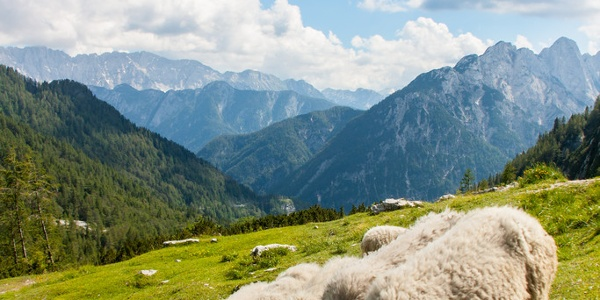 Schafe in Reih und Glied