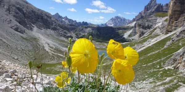 Der Rhätische Mohn ist in den Dolomiten sehr verbreitet.