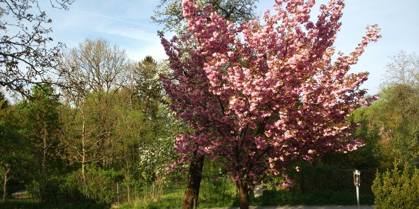 Baumblüte Spitzwirt