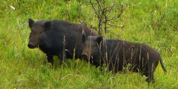 Wildschweine beim Sennhof