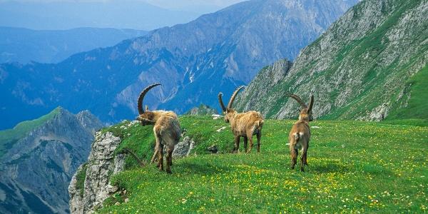 Steinböcke in den Eisenerzer Alpen