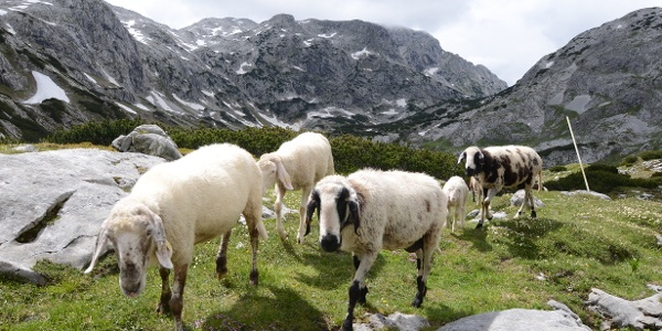 Neugierige Begleiter bei den Pitschenbergalmen