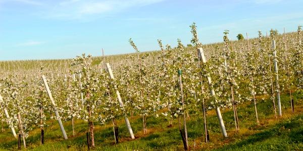 Baumblüte bei Ablass Sornzig