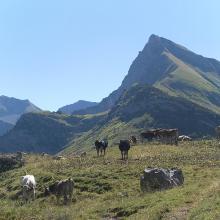Kühe weiden auf dem Schadonapass