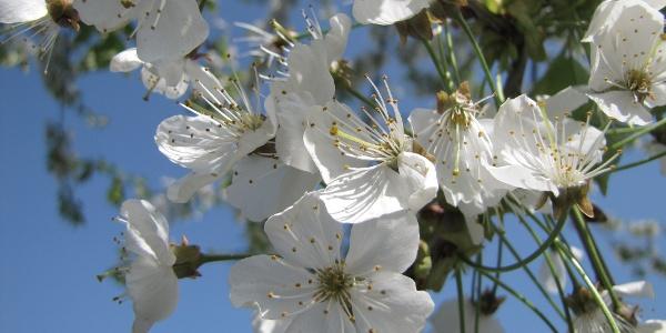 Obstblüte