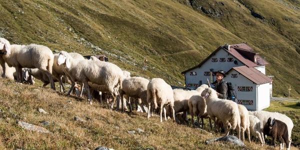 Schäfer hinter der Hütte.