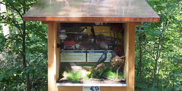 Mehlschwalbe und Amsel