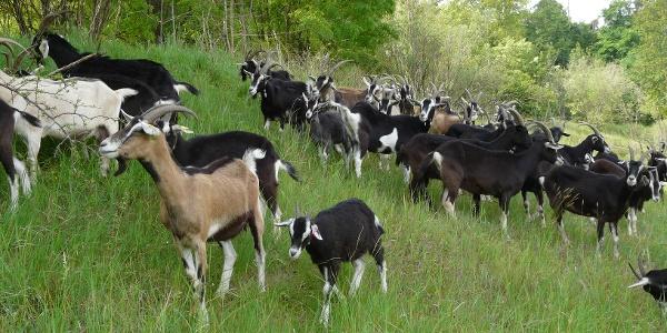 Die Beweidung mit Ziegen hält die Landschaft offen,