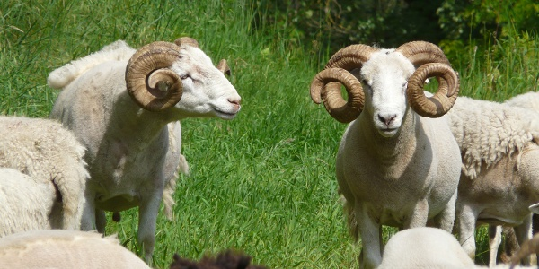 Auch Schafe halten die Landschaft offen