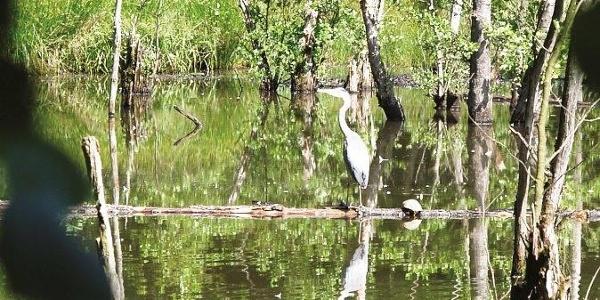 Fischreiher auf der Pirsch