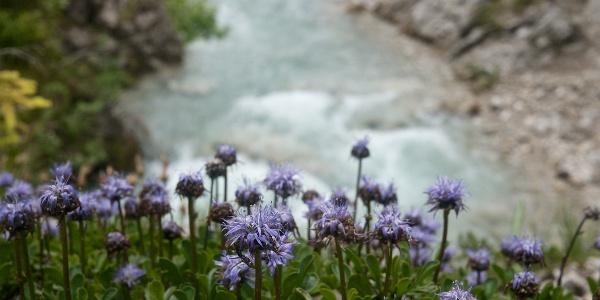 Alpen-Kugelblumen am Wegesrand