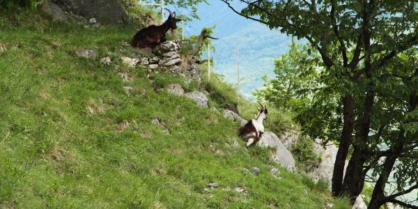 Frei laufende Ziegen
