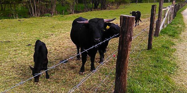 Weide mit Dixie-Rindern