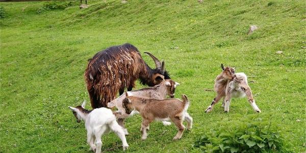 """Tiere im Erlebnishof """"Alte Mühle"""" im Kurpark St. Englmar"""