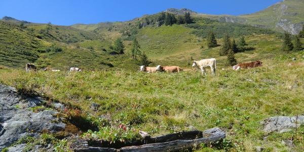 Rinderherde entlang des Weges