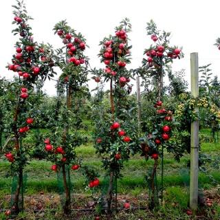 Äppelodling längs Paradisvägen