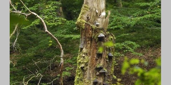 Tot- und Altholz im Schutzgebiet Hannoversche Klippen