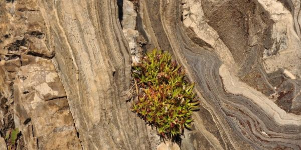 Nur speziell angepasste Pflanzen wie das Polster bildende stängellose Leimkraut können in Felsritzen zwischen versteinerten Lagunen überleben