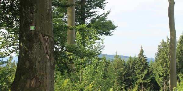 Waldstück an der Sauerland-Waldroute