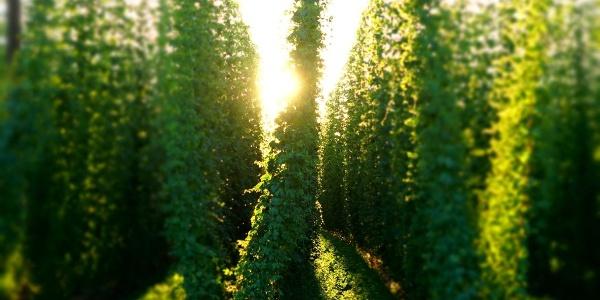 Hopfengarten in der Abendsonne