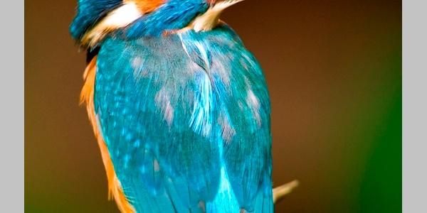 Der Eisvogel - Juwel der Lüfte