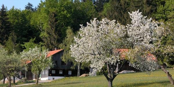 Ahorn bei Hüglhof