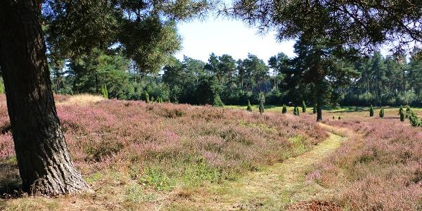 Pfade durch die blühende Heidelandschaft