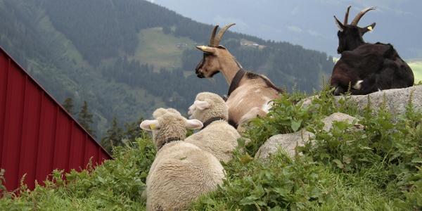 Ziegen und Schafe vertragen sich bestens