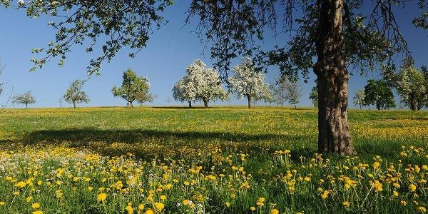 Streuobstbäume und Löwenzahnwiese