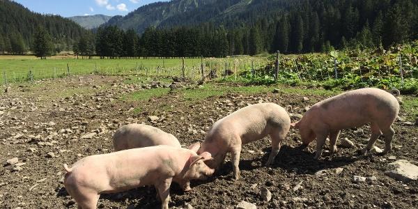 Viel Auslauf und gutes Futter für die Alpschweine der Melköde