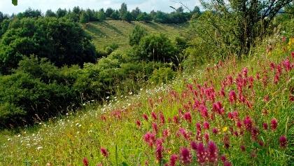 Blühender Ackerwachtelweizen auf den Kalktriften