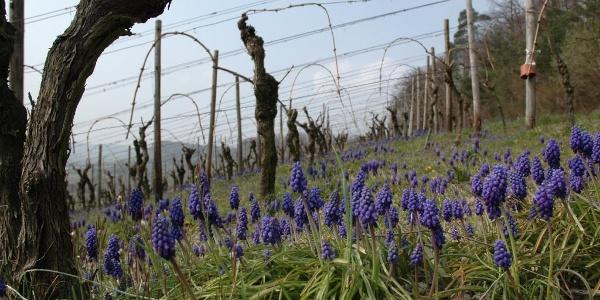 Weinberg-Frühling im Weinsberger Tal