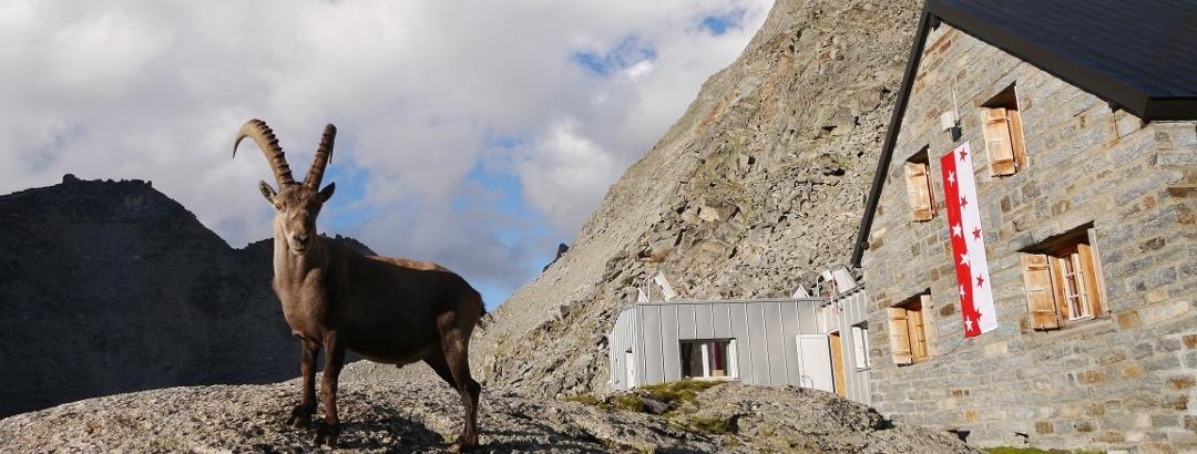 Steinböcke vor der Bordierhütte