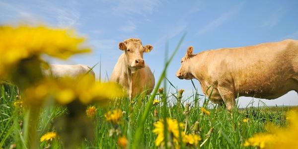 Kühe auf der Weide bei Gemünd