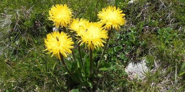 Eine schöne Bergblume,