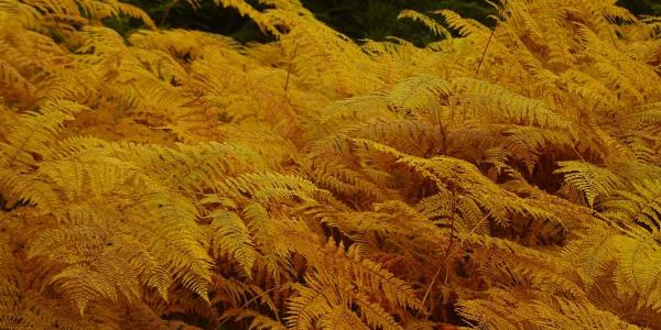 Leuchtende Farben im Herbstwald: Adlerfarn.