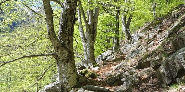 Faggi secolari lungo il sentiero
