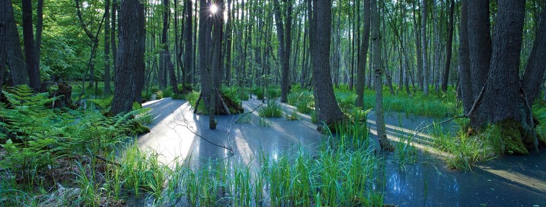 Lichtspiegelung im Darßwald, Fischland-Darß-Zingst
