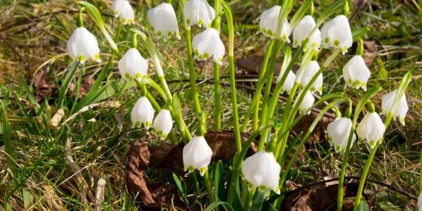 Märzenbecherblüte beim Bühlarzer Hof