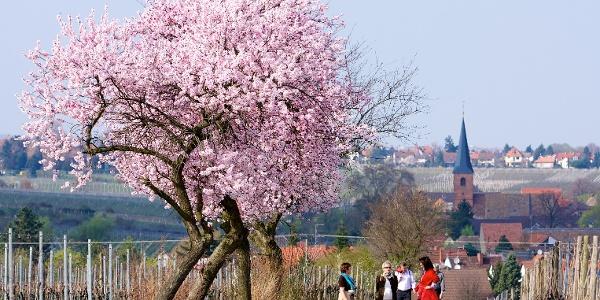 Blick nach Forst in der Mandelblüte